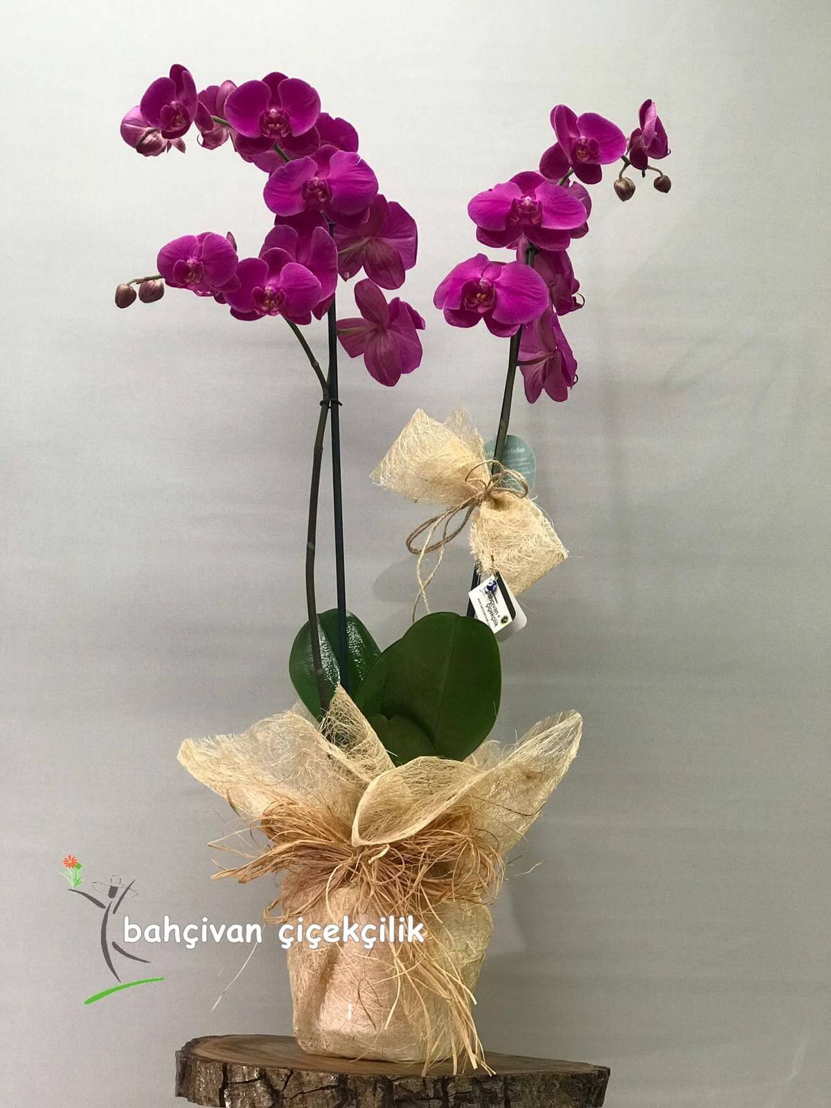 Kurdeleli Mor Orkide