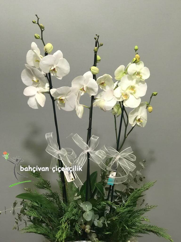 Camda Orkide