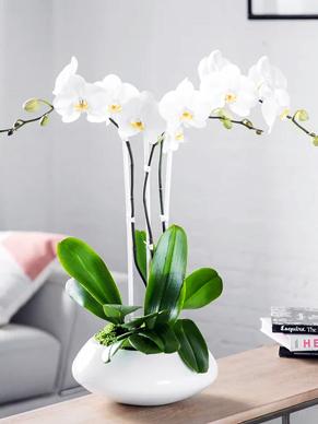 üçlü beyaz orkide