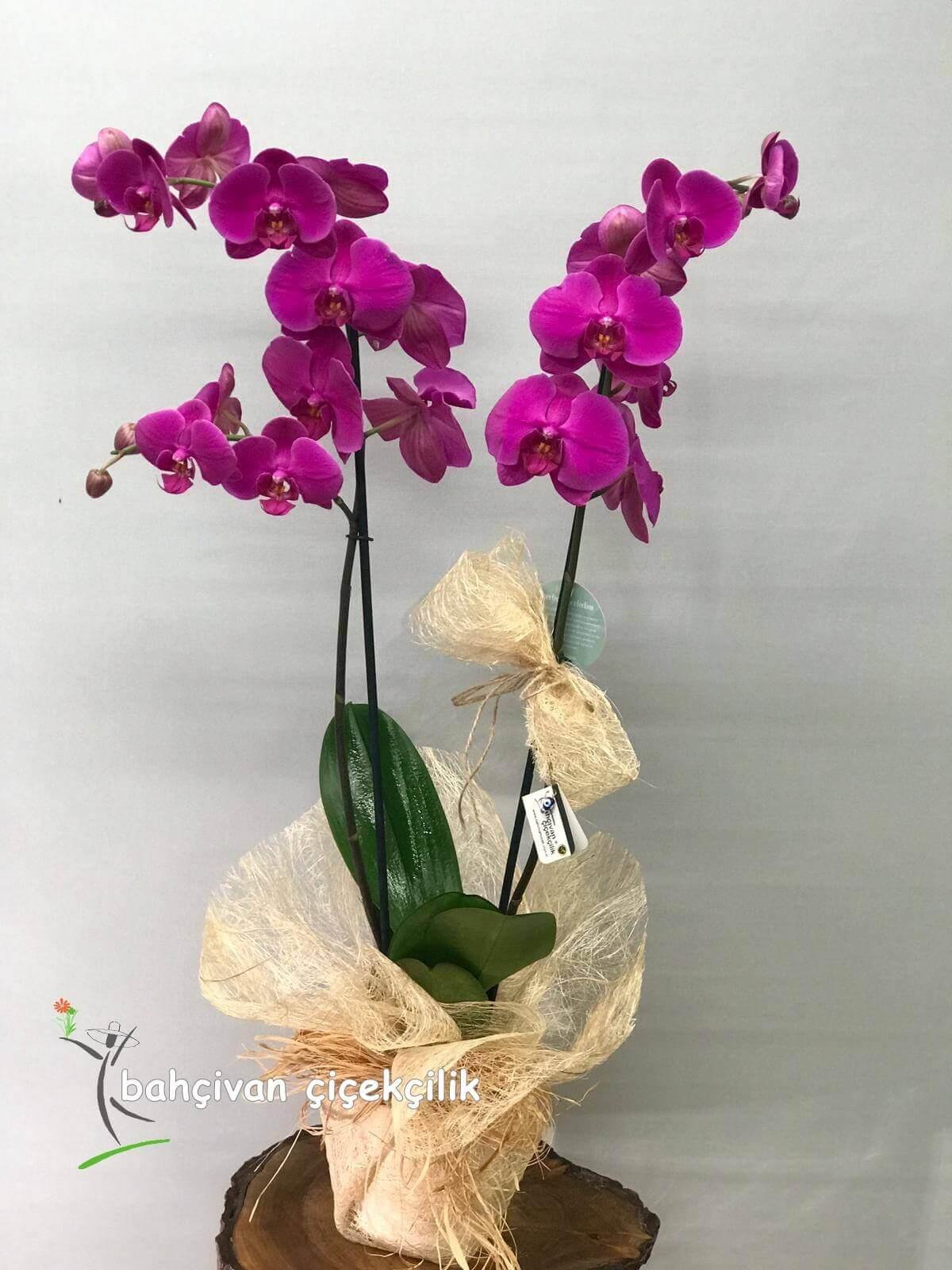 çiftli mor orkide