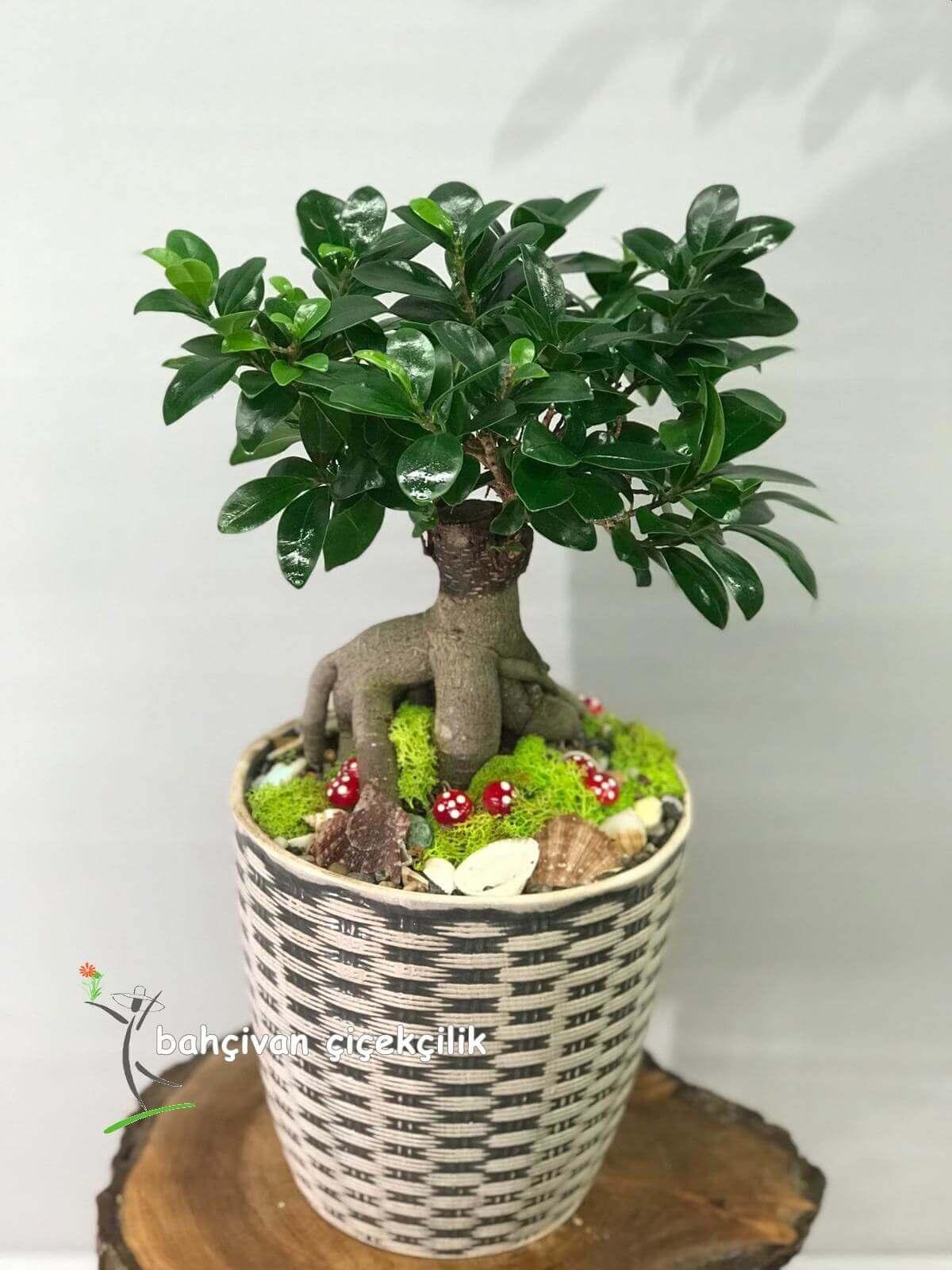 bonsai bitkisi